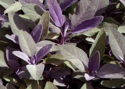 Salvia officinalis Purpurascens / Bordó levelű orvosi zsálya