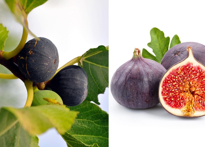 Ficus carica brogiotto nero Lila Füge - Fügefa.jpg (700×500)