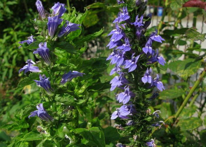 Lobelia Speciosa Blue Pompás Lobélia Kék Virágú
