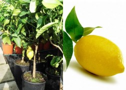 Citrus lemon, Rutaceae / Citromfa