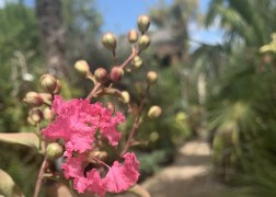 Lagerstroemia indica indian