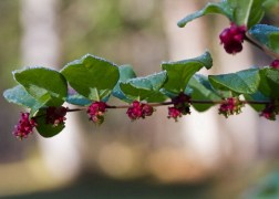 Symphoricarpos doorenbosii Magic Berry / Liláspiros hóbogyó