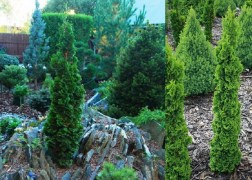 Thuja occidentalis Spiralis Mini / Törpe spirál tuja